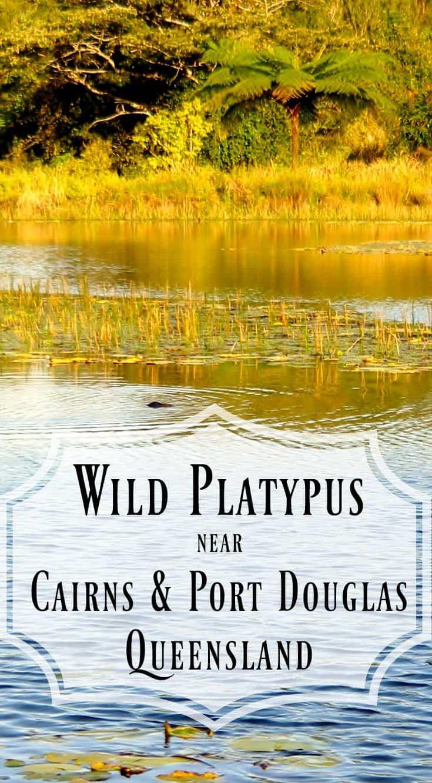 Wild Platypus Near Cairns and Port Douglas Queensland