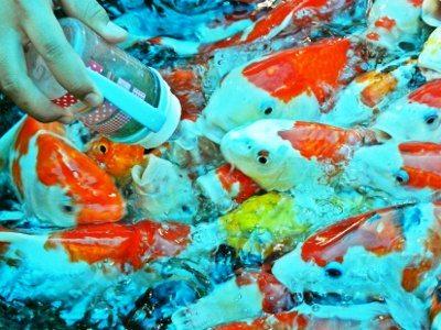Bottle feeding the fish at Dusit Zoo, Bangkok, yes, really!