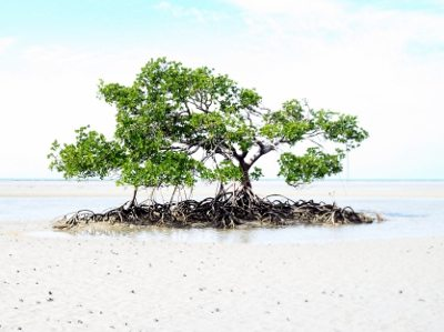 Lone mangrove tree. Cape Tribulation. Port Douglas to Cooktown by four wheel drive