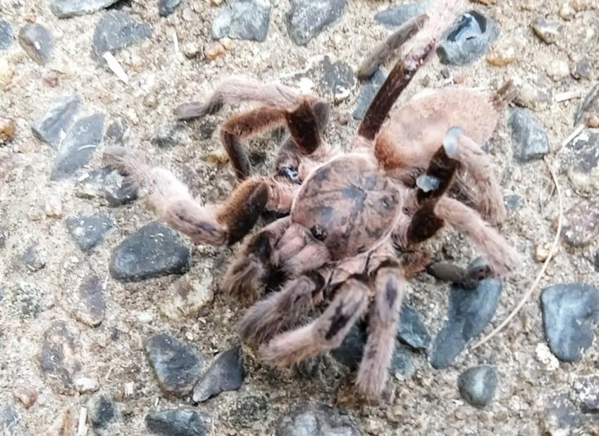 Tarantula Australia Worst spider travel stories