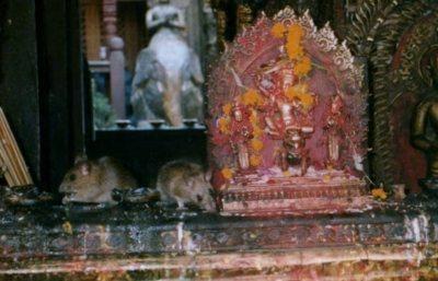 Golden Temple rats Kathmandu