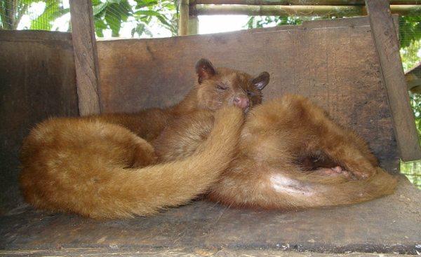 Civets Kopi Luwak