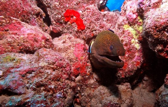 Moray Eeel Great Barrier Reef