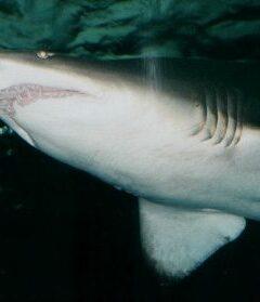 grey nurse shark Australia