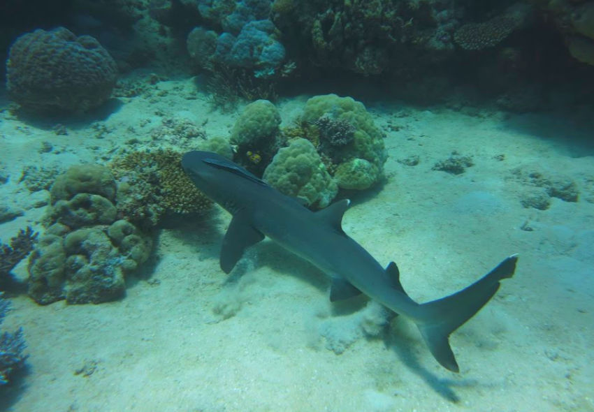 sharks on the Great Barrier Reef