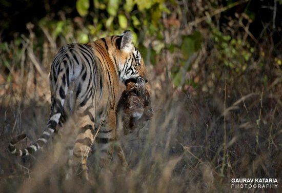 tiger why do I love India