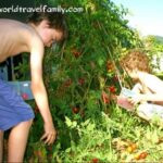 gardening in the tropcs. tomatoes