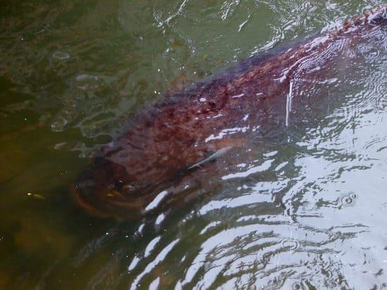 Feeding George the Groper Port Douglas ( Giant Queensland Groper or Grouper)