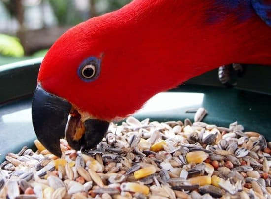 Eclectus Parrot. Wildife Habitat Port Douglas