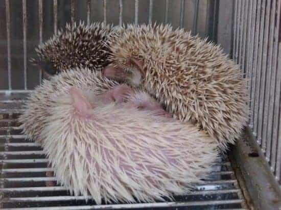 Kuala Lumpur Chinatown. Hedgehogs in a pet shop