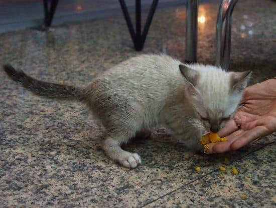Bangkok kittens