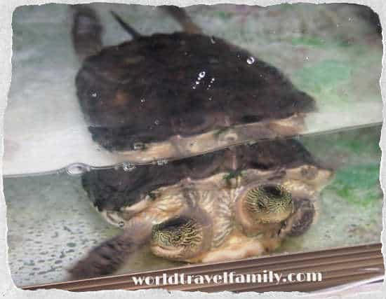 bangkok two headed turtle Dusit zoo
