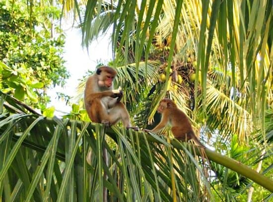 wild monkeys mirissa Sri Lanka