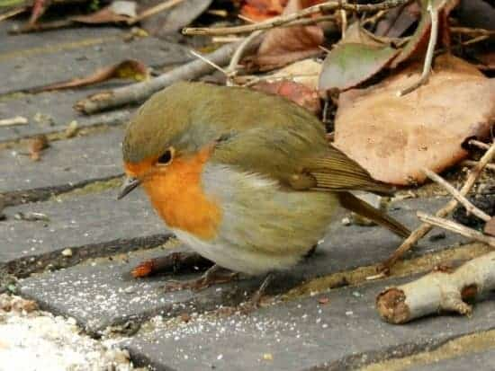 UK Winter robin