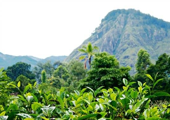 Little Adam's Peak Sri Lanka. Tea Plantations Ella
