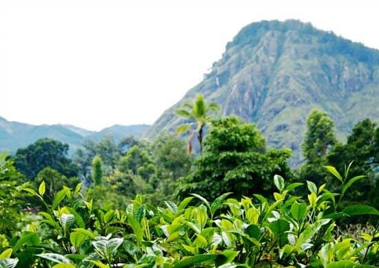 Little Adam's Peak Sri Lanka. Tea Plantations Ella