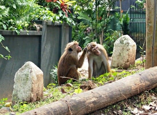 Things to do in Kandy. Wildlife and monkeys