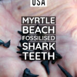 South Carolina USA Myrtle Beach Fossilised Shark Teeth