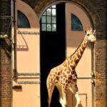 Visiting London Zoo. The giraffe house at London Zoo, ZSL