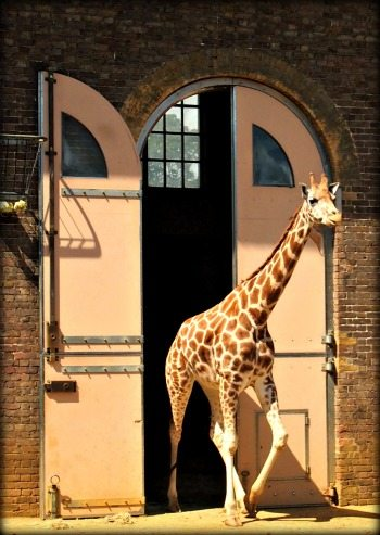 Giraffe house London zoo