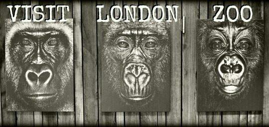 Visiting London Zoo Gorillas