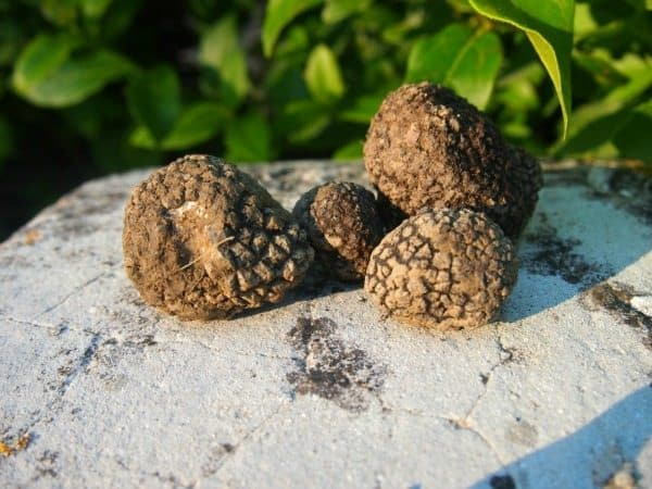 Black truffles found by the dogs in Italy