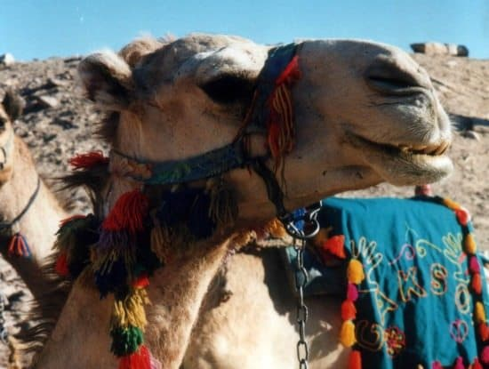 camel 550