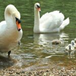 Swans on the river Thames Twickenham London