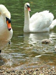 Swans on the river Thames Twickenham London