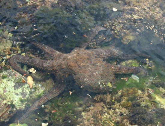 Octopus rock pool