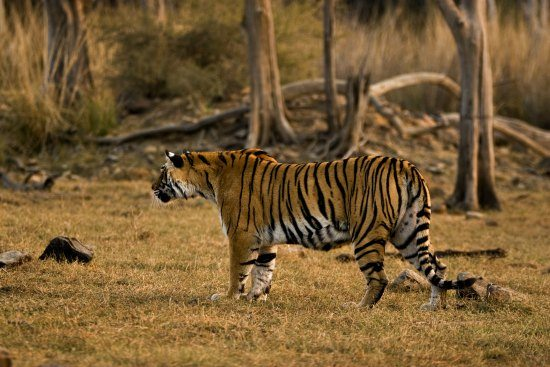 5 Unmissable Places inNorth India. Tiger Ranthambore India