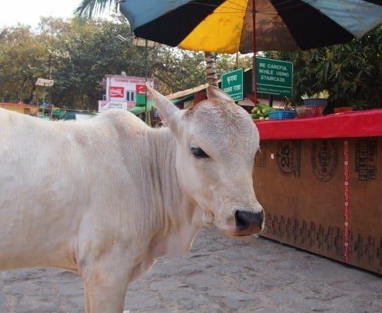 cow elephanta island India