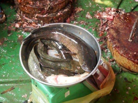 snake head fish at cambodian food market