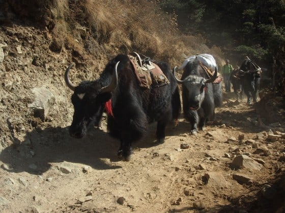 Nepal with kids, Kathmandu with kids. Yak Dangers
