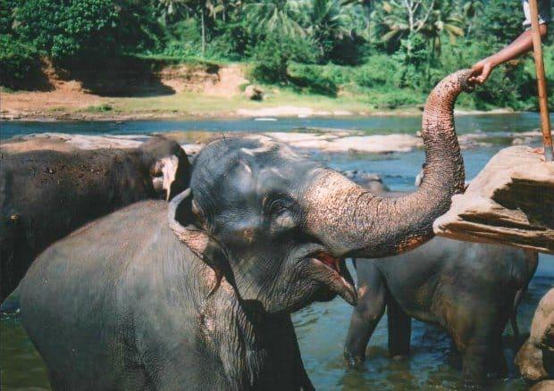 Elephants Pinnawalla Sri Lanka orphanage