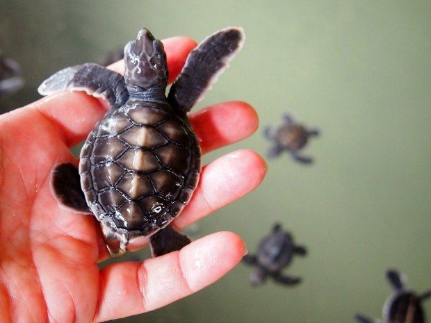 Highlights of Sri Lanka for families Kosgoda turtle hatchery