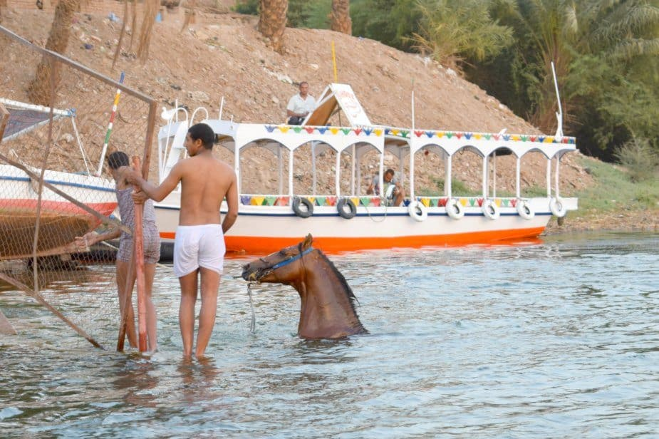 horse swimming in Nile Egypt