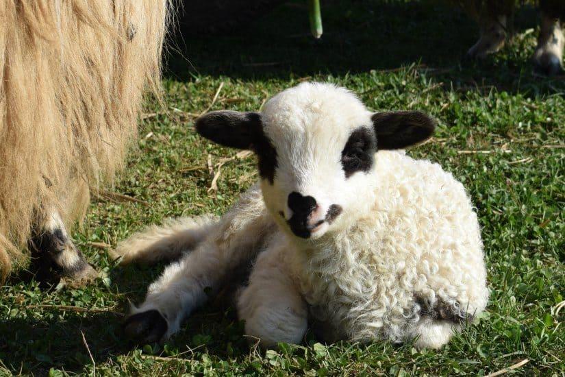 romanian lamb