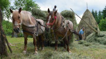 Horses pulling hay carts in Romania
