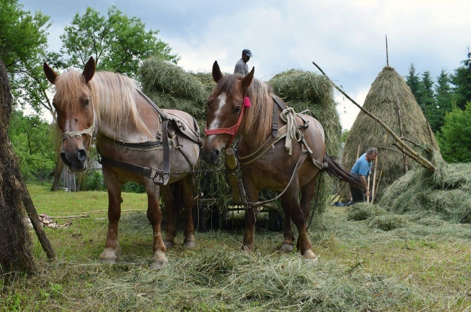 Horses pulling hay carts in Romania
