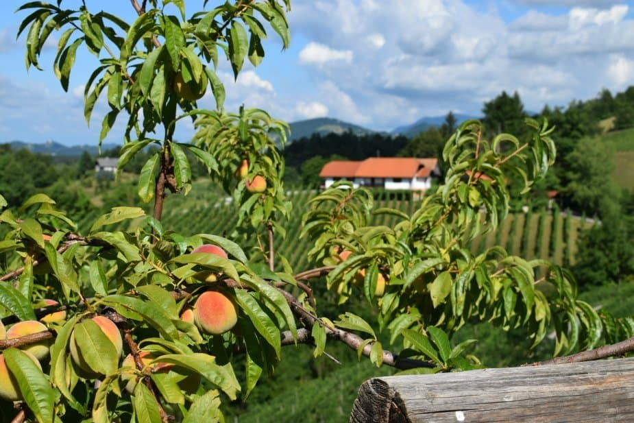 Slovenian grape fields and peaches