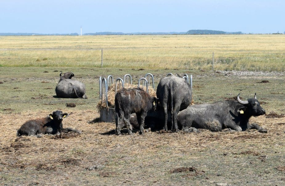 Waterbuffalo in Hungary and Romania