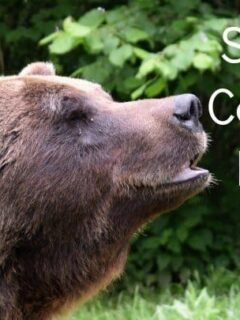 Saving Captive Bears in Romania Brasov Bear Sanctury