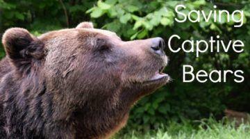Saving Captive Bears in Romania Brasov Bear Sanctury
