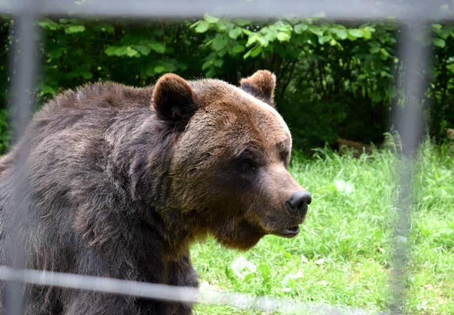 The Brasov Bear Sanctuary Max Blind Bear Rescued from Peles Castle Romania