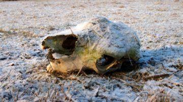 Heavy Frost Romania Winter Skull