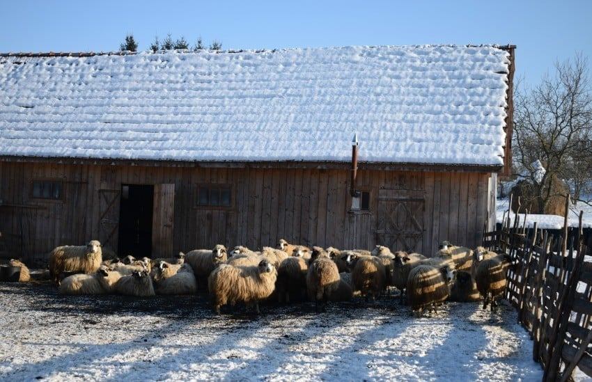 January in Breb Romania Sheep in the village