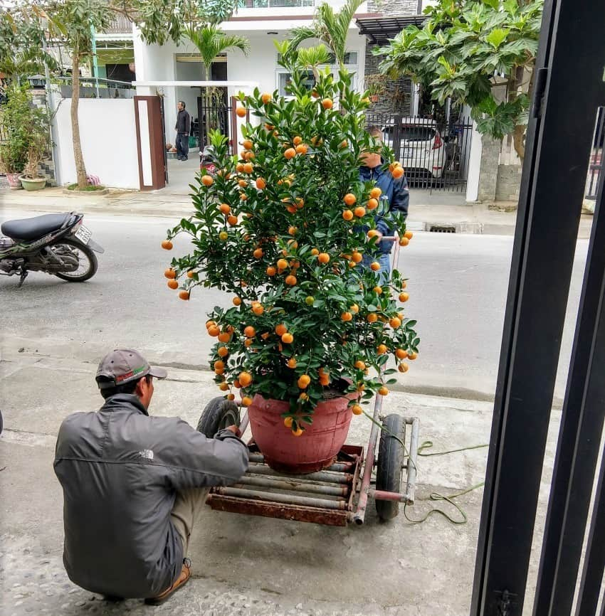 Kumquat Tree Tet Hoi An