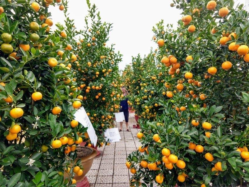 Kumquat festival Vietnam Kumquat trees