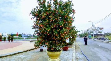 Kumquat tree judging at Hoi An Kumuat festival